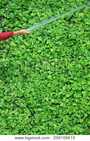 Gardener's hand watering bright green devil's ivy plants with spray hose pipe, vertical photo
