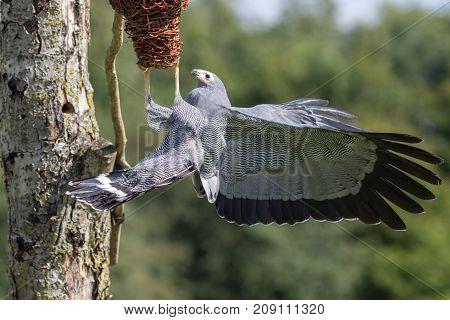African harrier hawk (Polyboroides typus) bird of prey predator foraging for food at nest. Amazing wildlife image.