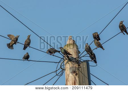 Common urban bird pests. Pigeon and starlings on telegraph pole wires. Nuisance animals that are considered as vermin. Blue sky background with copy space.