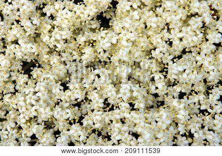 White flowers inflorescence growing on black elderberry (Sambucus nigra) blooming shrub