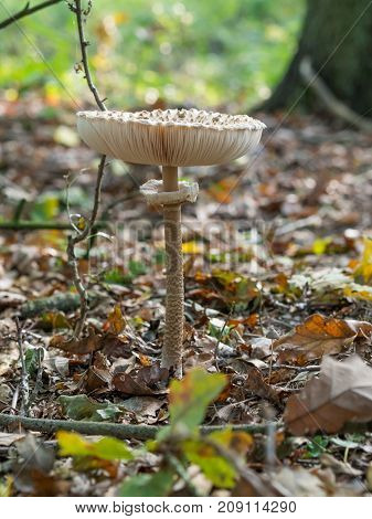 Closeup of single edible parasol mushroom or macrolepiota procera growing on forest ground, Berlin, Germany.