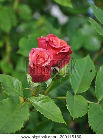 Rambler Rose At Garden Bed