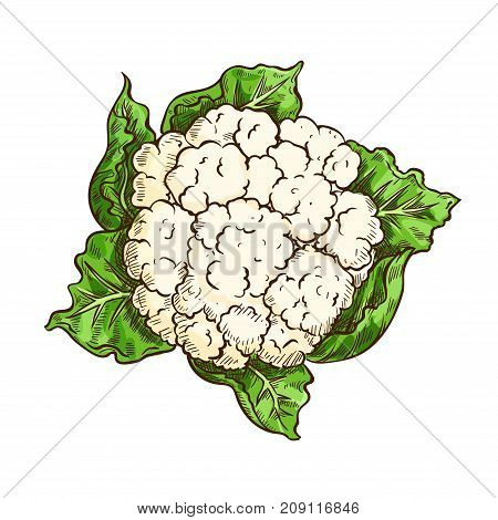 Cauliflower vegetable isolated sketch. Vector cauliflower cabbage with green leaf, garden veggies for diet or vegetarian salad ingredient, organic farming, greengrocery themes design