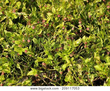 Bilberry Shrub With Unripe Berries In Natural Environment