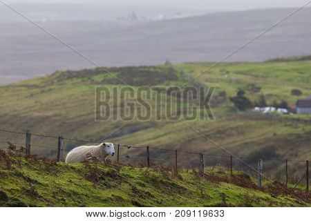 Sheep in the mountains - skye isle, Scotland - horizontal