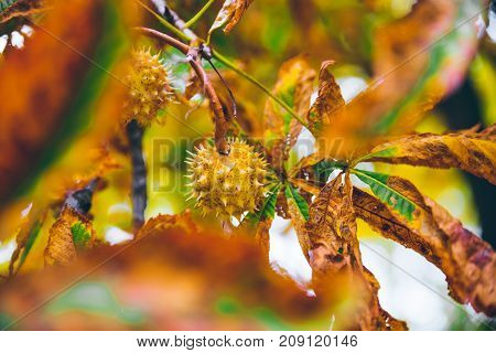 horse chestnut buckeye conker outside on the ground