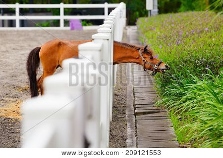 Young brown color horse have fun reaching through fence for eating flowers from green flowerbed. Domestic animals funny pets. Summer outdoor background.