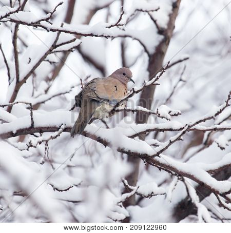 dove on the tree in winter . In the park in nature