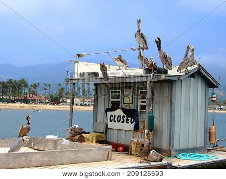Group of Pelicans and Sea Birds Atop a Closed Bait Shack with California Coastline in Background