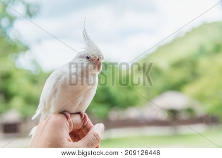 Cockatoo white on female hand behind natural mountain background.
