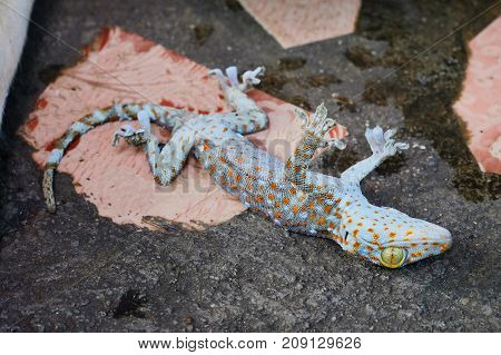 close up gecko death on cement floor