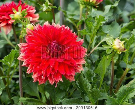 Flower dahlia Excalibur in the garden against a green foliage background close-up. Flower background