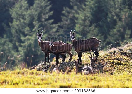chamois family in the mountains wild animals looking towards the camera ( Rupicapra )