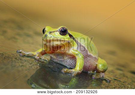 cute curious green tree frog ( Hyla arborea full length )