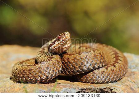european crossed common viper basking on rock ( Vipera berus )
