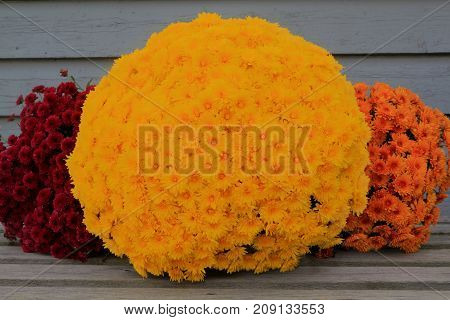 Colorful Thanksgiving bucket from different colors fall (Autumn) Mums (Flowers) very suitable for decoration when celebrating harvest Thanksgiving or fall