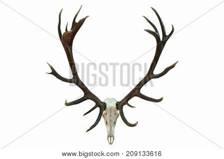 huge red deer skull with beautiful antlers hunting trophy isolated over white background ( Cervus elaphus )