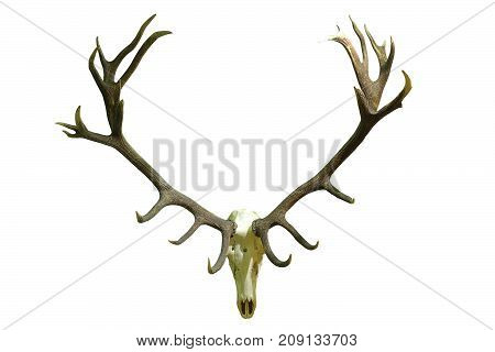 huge red deer skull with beautiful antlers isolated over white background hunting trophy ( Cervus elaphus )