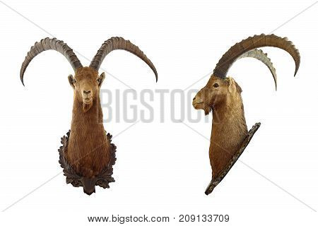 alpine ibex huge ram hunting trophy ( Capra ibex ) isolated over white background