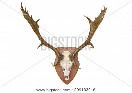 majestic fallow deer hunting trophy isolated over white background ( Dama )