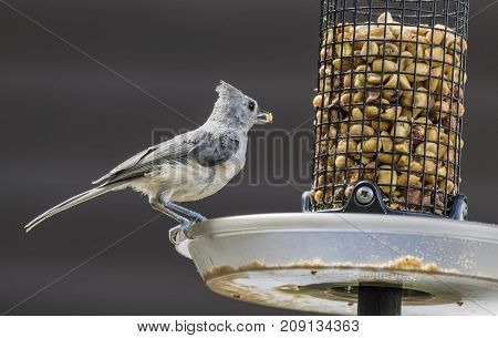 Tufted Titmouse on a feeder in a park.