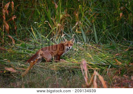 wild red fox in natural habitat ( Vulpes ) curious animal looking towards the camera