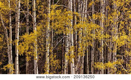 Yellow Aspen leaves and white trunks in autumn