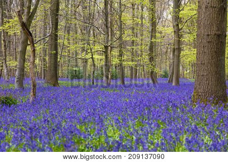 English bluebell woods in spring time with flowers in bloom
