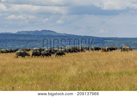 Group of buffaloes and cows on the green field. Romania landscape with farmland and grazing cows and buffaloes. .Buffaloe and cows on the pasture