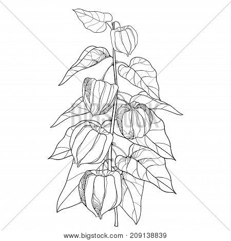 Vector branch with outline Physalis or Cape gooseberry or Ground cherry fruit, leaf and berry isolated on white background. Ornate perennial plant in contour style for autumn design or coloring book.