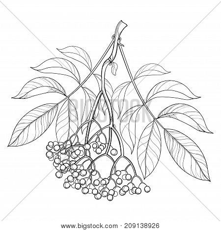 Vector branch with outline Sambucus nigra or black elder or elderberry, bunch, berry and leaves isolated on white background. Elderberry drawing in contour style for autumn design and coloring book.