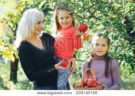 beautiful mother and two daughters pick apples in the garden