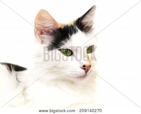 White catclose-up face on the white isoalted background