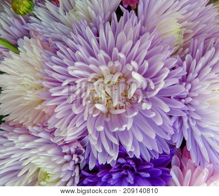 Close up of colorful aster flowers background