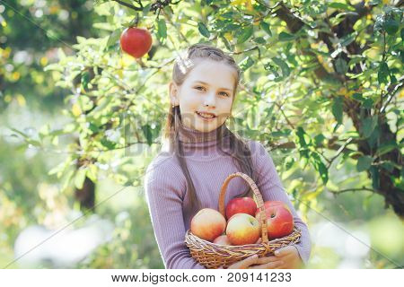 Basket of beautiful and ripe apples in the hands of a girl