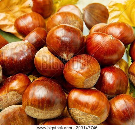 a group of Chestnuts with autumn leaf