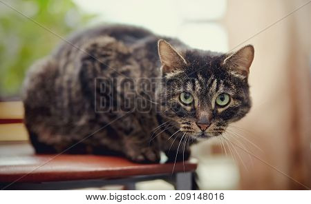 The beautiful striped domestic cat sits on a chair.