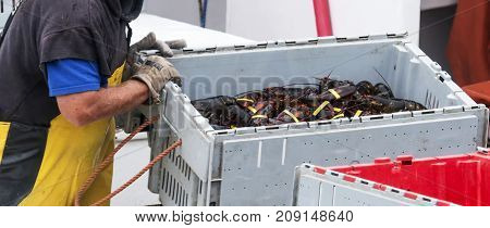 After a long day of harvesting lobsters in Maine a lobster man is selling a crate of lobsters at the docks