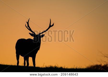 Silhouette of a large red stag with background golden morning sky