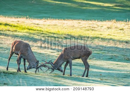 Two red deer stags rutting early in the morning