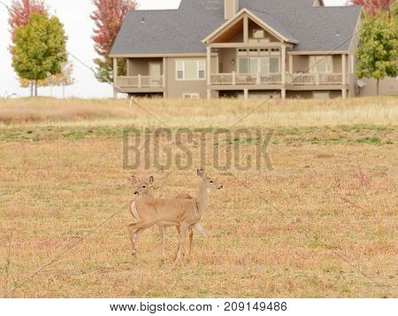 Whitetail deer living around humans