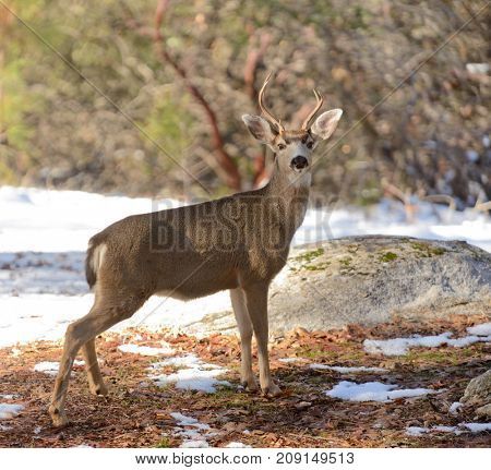 Young Black-tailed buck in the winter