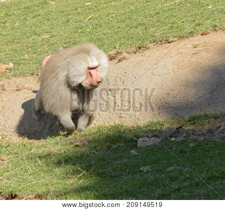 Male Olive Baboon searching for food
