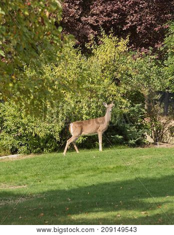Whitetail doe on the lawn