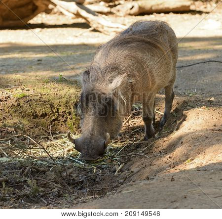 Closeup of a female African Warthog feeding