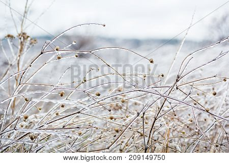 Icy grass in winter, stems of dry grass covered with ice crust