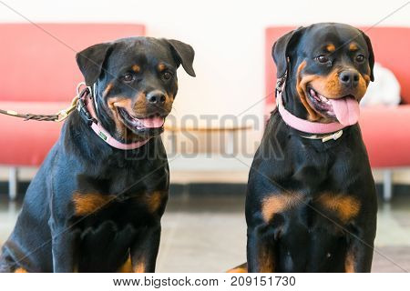 Two beautiful rottweilers sitting in the floor