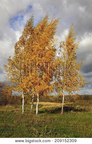 Beautiful scene: the four birches on the hill in October, with yellow autumn leaves. Trees with Golden leaves against the cloudy sky. Calendar.