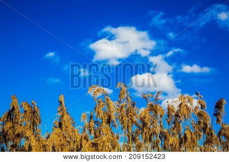 Dry inflorescence of leaves and stems of reeds against the blue sky. Phragmites australis Refers to cereals