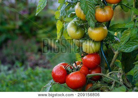 Wet Green And Red Tomatoes Growing In A Garden.